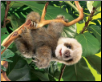 "Baby Sloth Hand Puppet 15"" by Folkmanis"