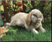 "Holland Lop Rabbit Hand Puppet 15"" by Folkmanis"